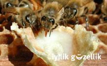 Arı sütü kanseri önlüyor!